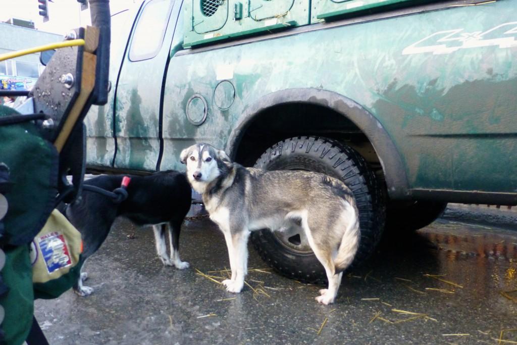 """Lauras Hund Roxy, Ein Foto von Roxy wurde auch in """"Born to Run - Athletes of the Iditarod"""" von Albert Lewis geschafft."""