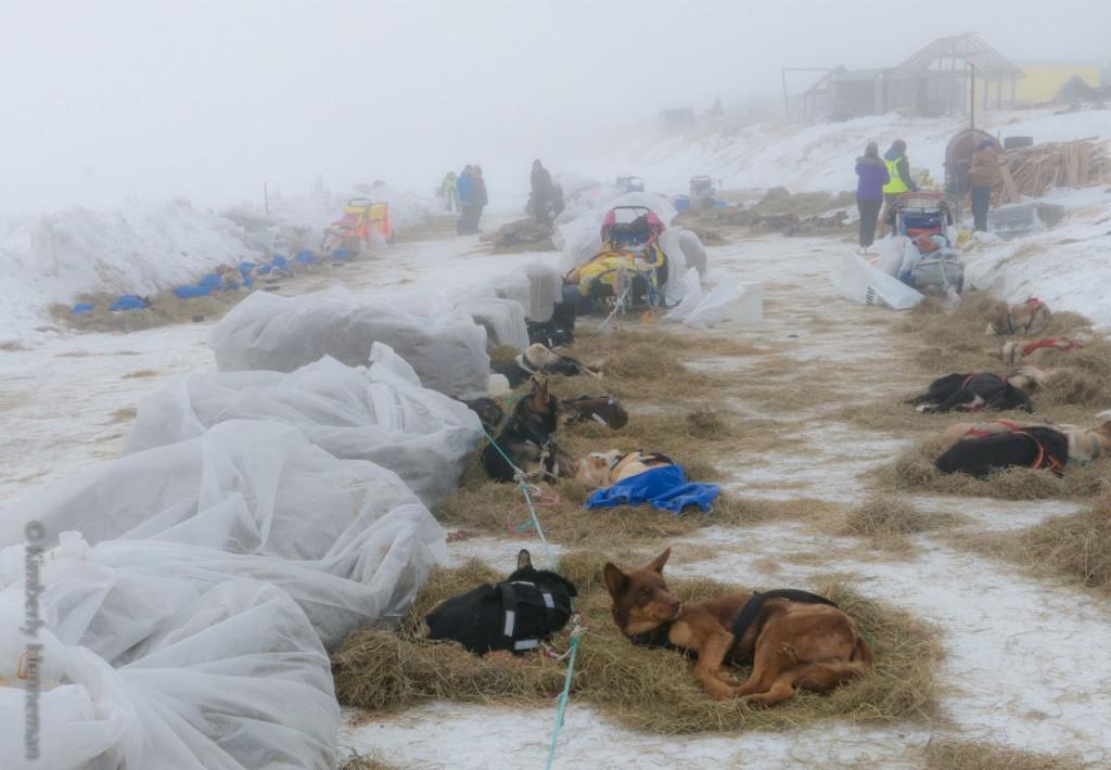 Rastende Gespanne in Unalakleet. Die Hunde machen es sich auf frischen Strohbetten gemütlich während sich die Musher im Checkpoint erholen. Iditarod 2015