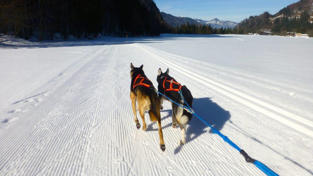 Skijöring mit Raven und Gustav